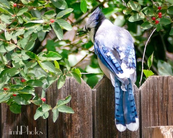 Blue Jay I  (Cyanocitta cristata)