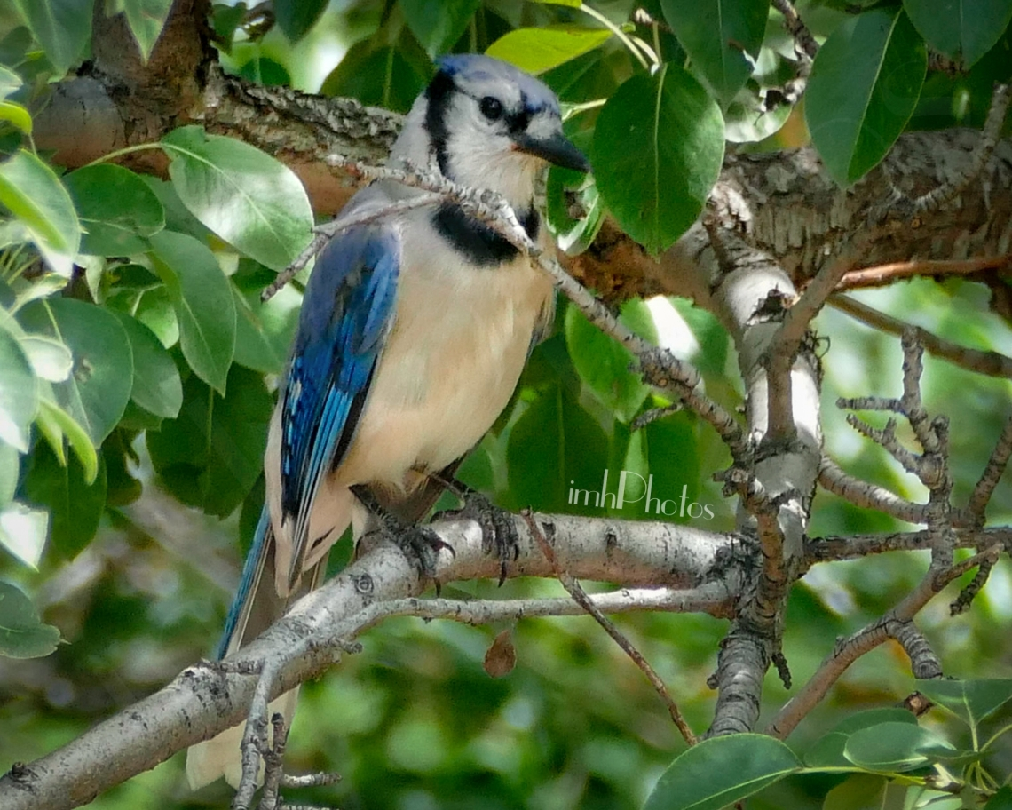 Blue Jay II (Cyanocitta cristata)