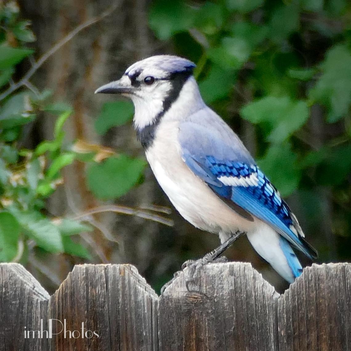 Blue Jay III (Cyanocitta cristata)