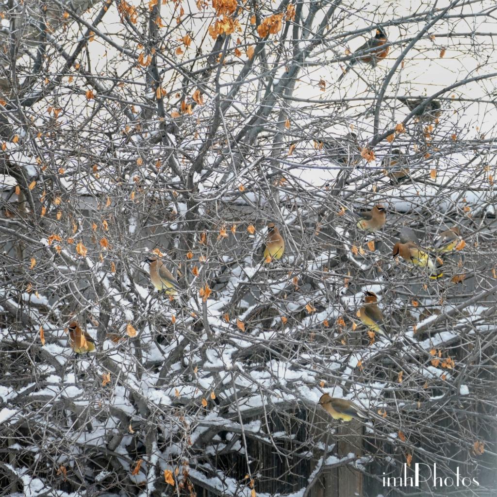 Cedar Waxwings 05