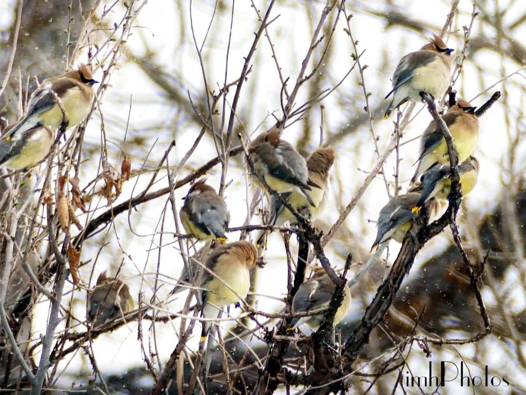 Cedar Waxwings 04