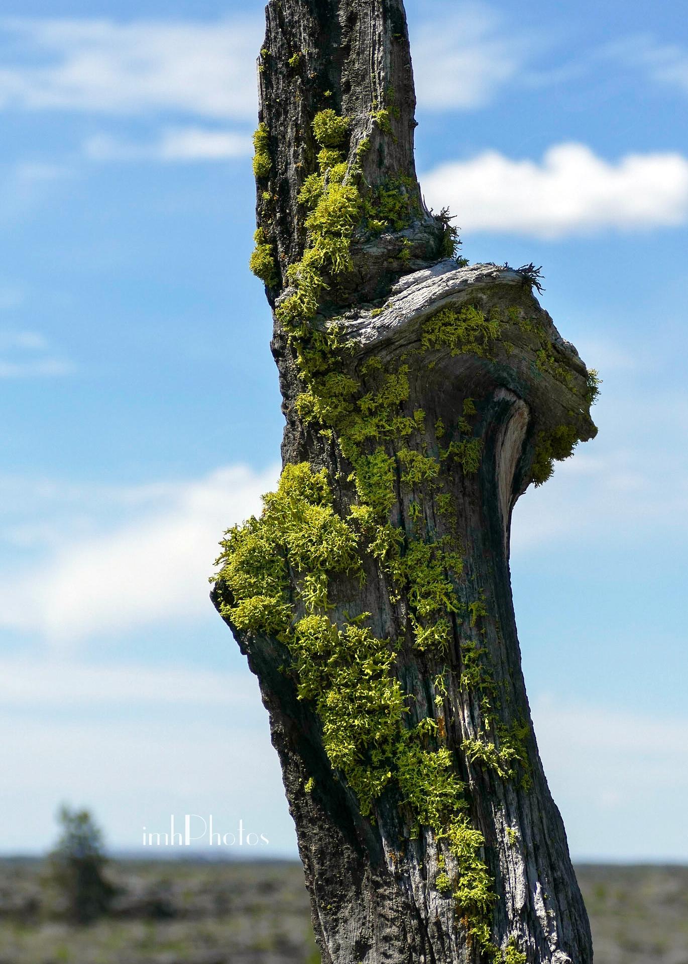 Lichen on Pine Stump