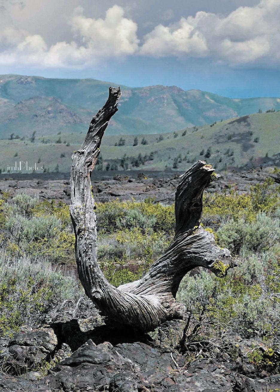 Dead Limber Pine